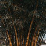 De bamboe plant in het dagelijks leven